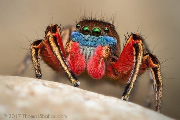 Прыгающий паук (Sp.Habronattus americanus), снятый в Орегоне на Vivitar 55m F2.8 (~ F10 эквив., телеконвертор 2х)