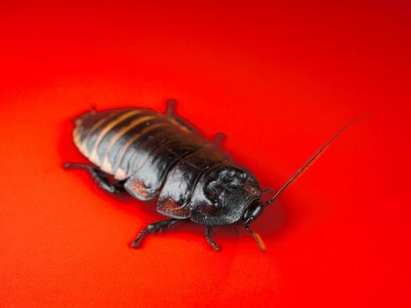 Мадагаскарский шипящий таракан (Sp.Gromphadorhina), снятый в зоопарке насекомых Кетчума, Айдахо