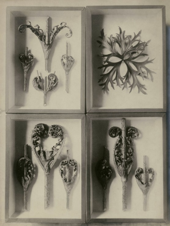 Photo by Karl Blossfeldt
