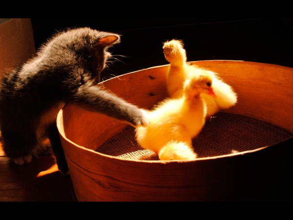 -Artistic-Cats-Ducks-Funny-Pets-Fresh-New-Hd-Wallpaper--