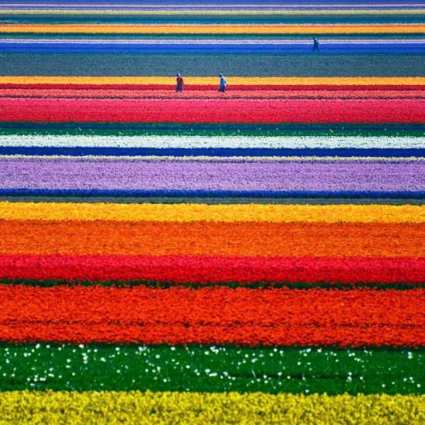 tulipsfieldsinholland6