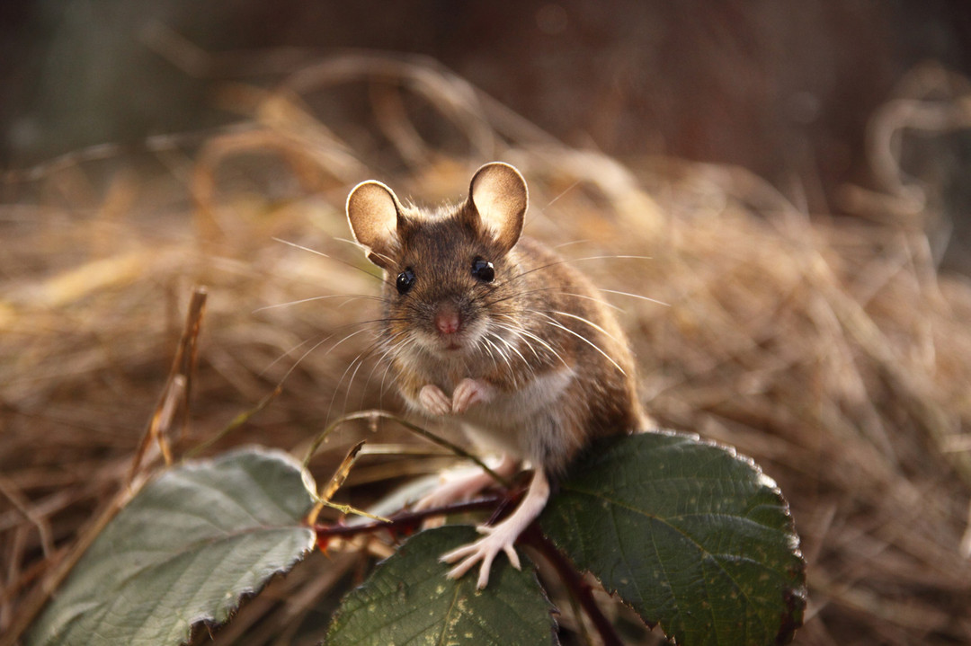 Красивые мыши картинки