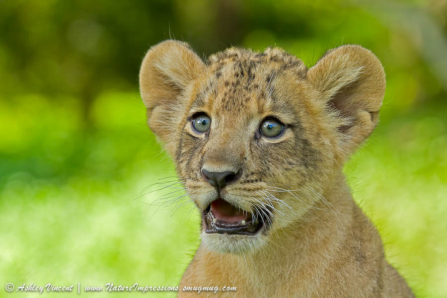портрет львенка