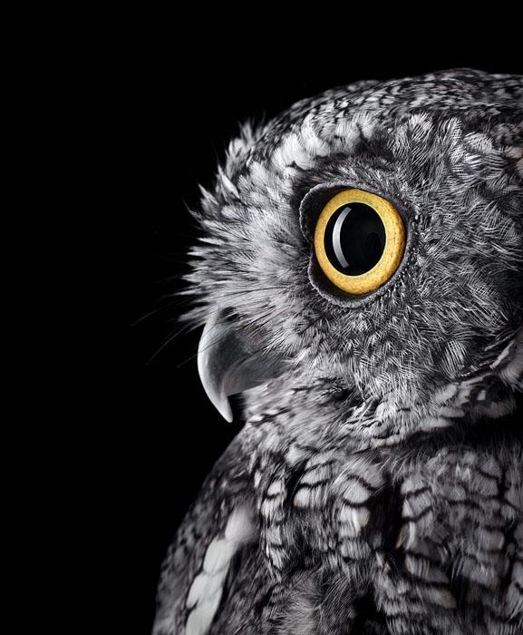 Western Screech-Owl
